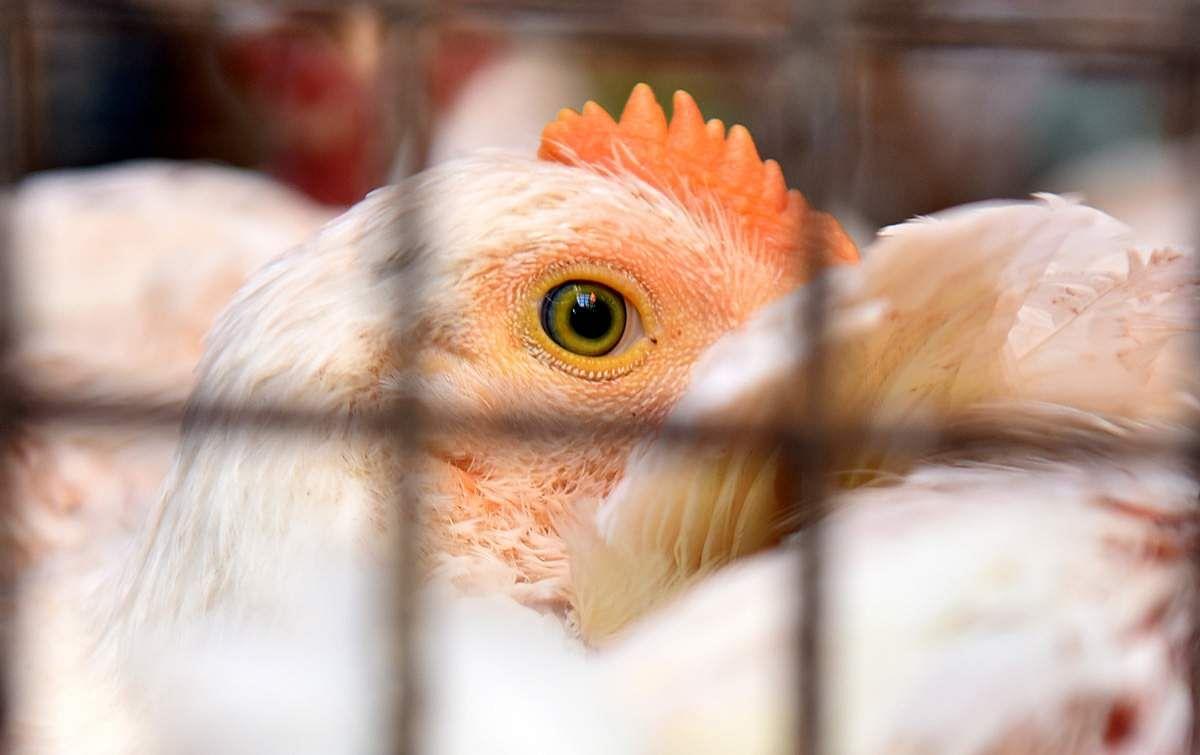chicken-9
