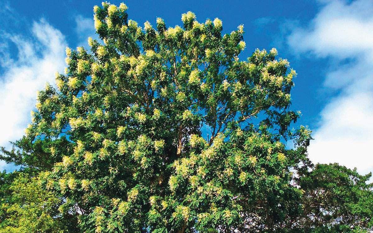 மரங்களின் வரங்கள்!: பன்னீர் மரம்! Sm10