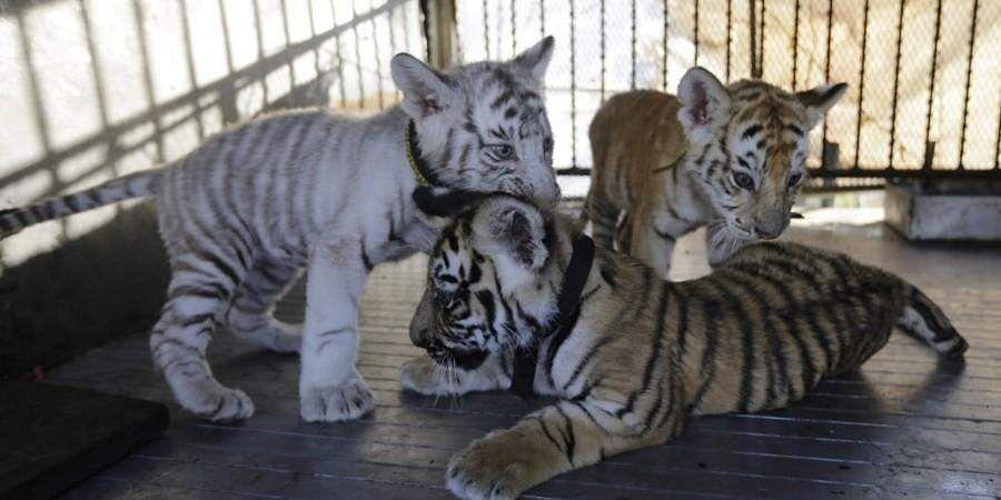 tiger_cubs_AFP_