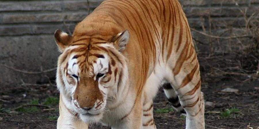 tiger_gold