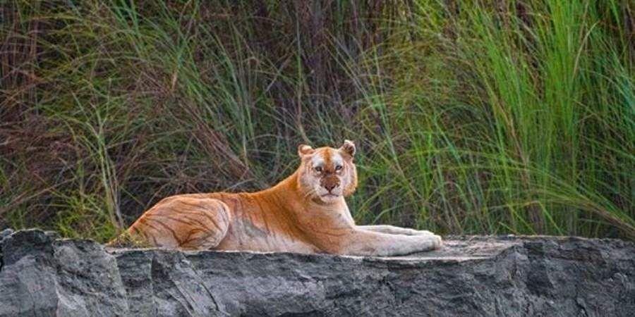 tiger_golden
