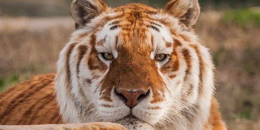 tiger_golden2__