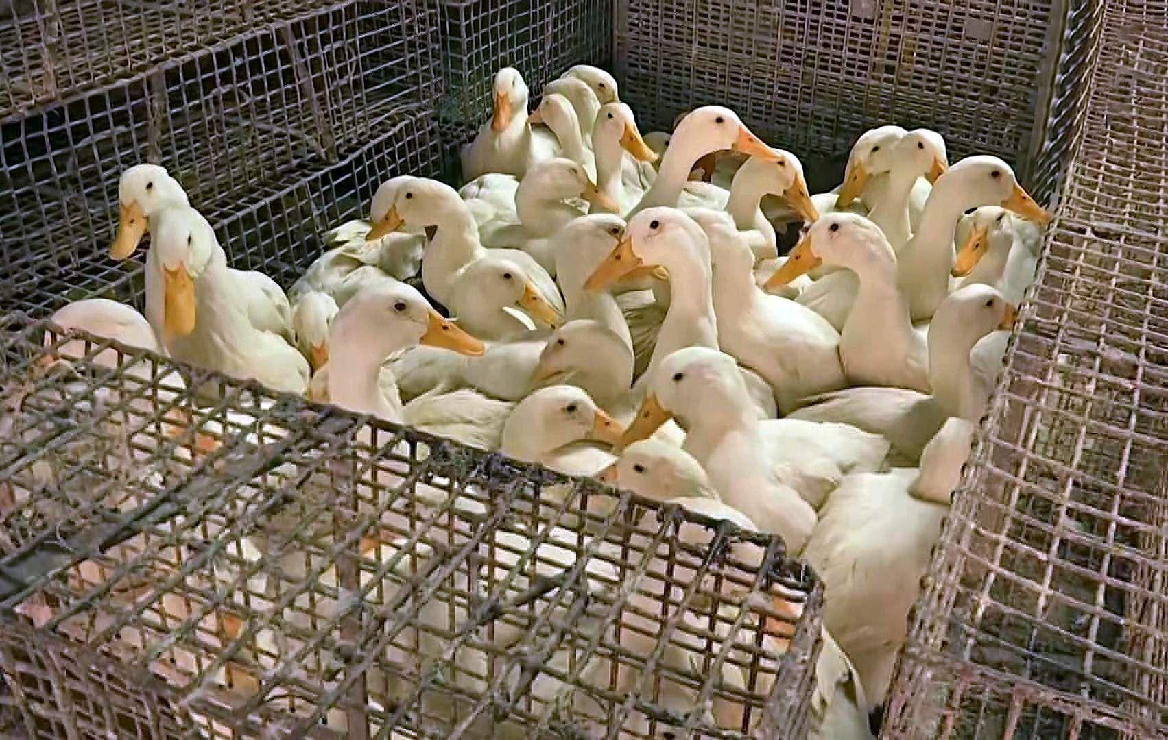 bied_flu_ducks