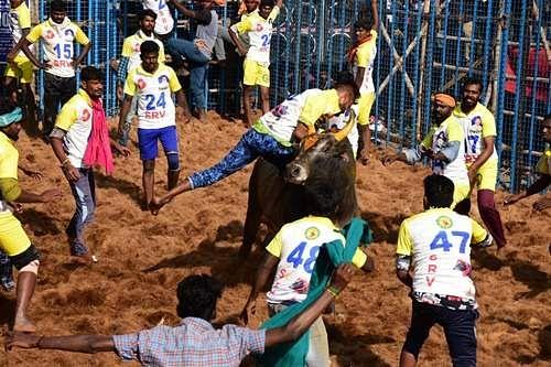 தருமபுரியில் நடைபெற்ற ஜல்லிக்கட்டு போட்டியில் காளைகளை அடக்க முயலும் மாடுபிடி வீரர்கள்.