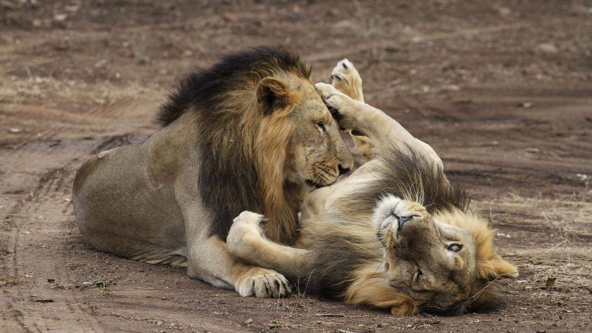 female-lions-bite-to-death