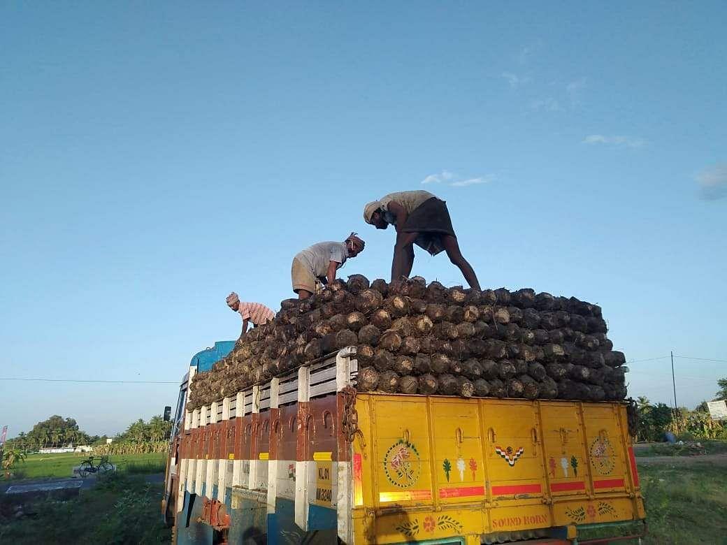 Ethan banana saplings exported to Kerala!